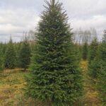 Jõulukuusk kasvatuse pikkus F (2,25-2,5) 1