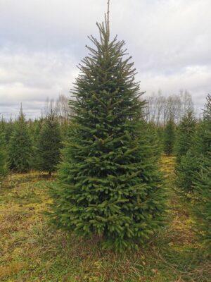 Jõulukuusk kasvatuse pikkus F (2,25-2,5) 6